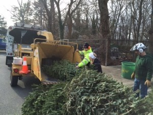 Chipping Christmas tree into mulch