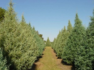Mores Lumber Tree Farm