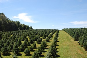 Baltimore and Central Maryland Christmas Tree Farms: choose-and-cut Christmas trees, Tree lots ...