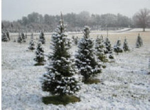 bees trees farm - Middleburg Christmas Tree Farm