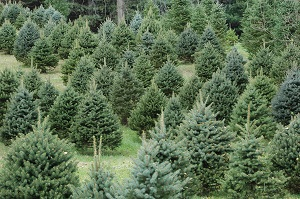 northern virginia tree farms choose and cut trees tree lots with pre cut